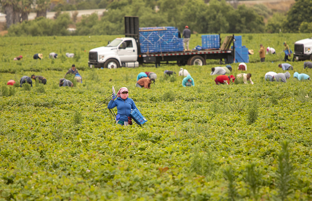 Migrant Workers picking strawberries in a Field .A pallet truck